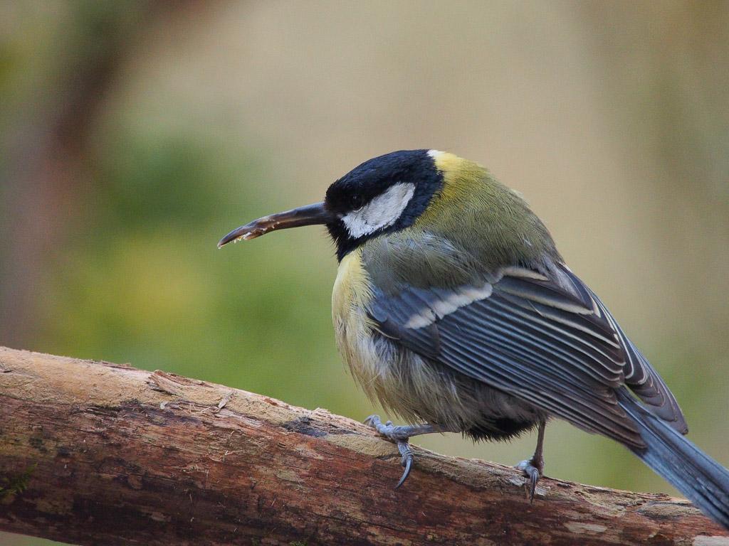 Kolibrimeise 1