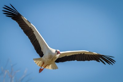 This white stork flew directly at me. With my long 400mm lens, oI had a hard time getting the whole bird into the frame.