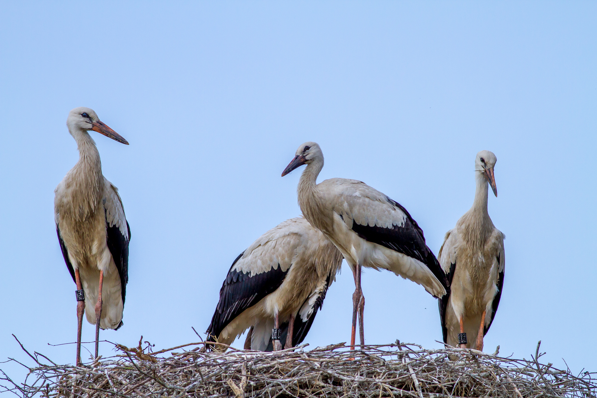 Weißstorch achwuchs am Nest