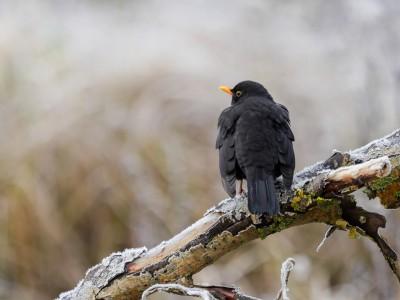 Stunde der Wintervögel 2016 - Amsel