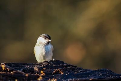 Stunde der Wintervögel 2016 - Sumpfmeise