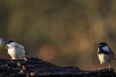 Stunde der Wintervögel 2016 - Sumpfmeise und Tannenmeise