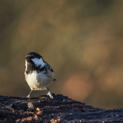 Stunde der Wintervögel 2016 - Tannenmeise