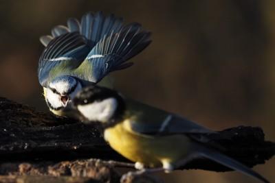 Stunde der Wintervögel 2016 - Blaumeise und Kohlmeise