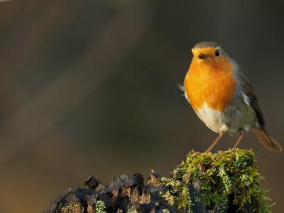 Stunde der Wintervögel 2016 - Rotkehlchen